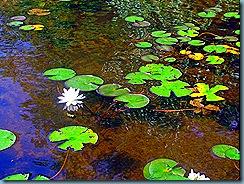 Shoreline Lily Pads